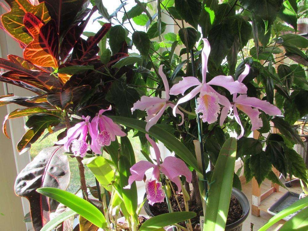 Чудесное трио Cattleya maxima