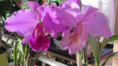 «Час Икс» для Cattleya labiata