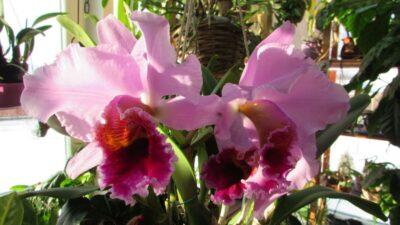 Cattleya percivaliana, мимолетная красота