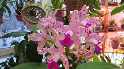 Cattleya amethystoglossa открывает февраль