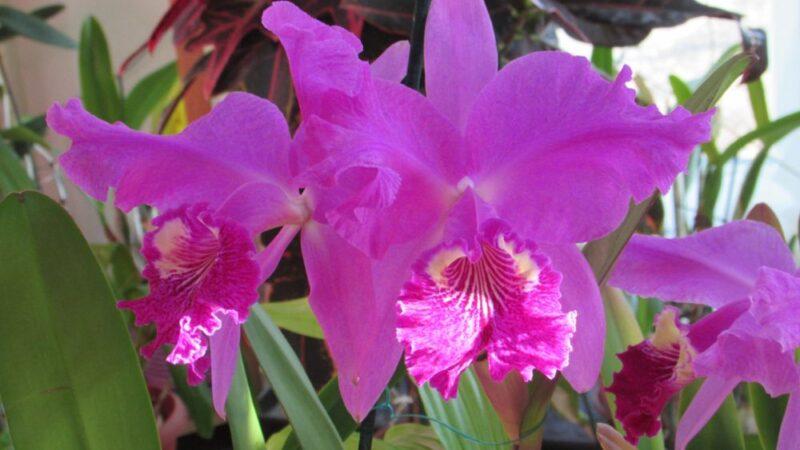 Цветет коллекция Cattleya lueddemanniana