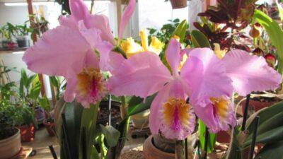 Праздник Cattleya mossiae