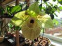 Paphiopedilum malipoense, зеленый циклоп из Китая